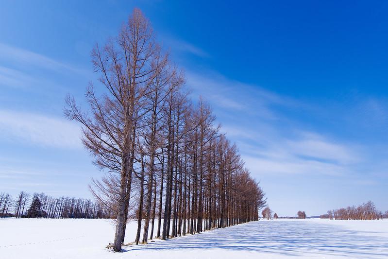 斜里のカラマツ並木