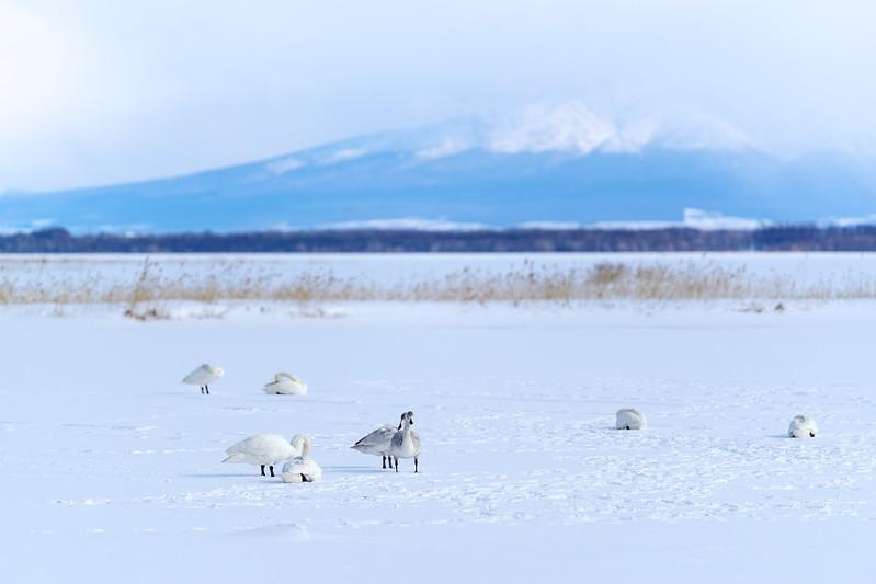 濤沸湖白鳥公園_2