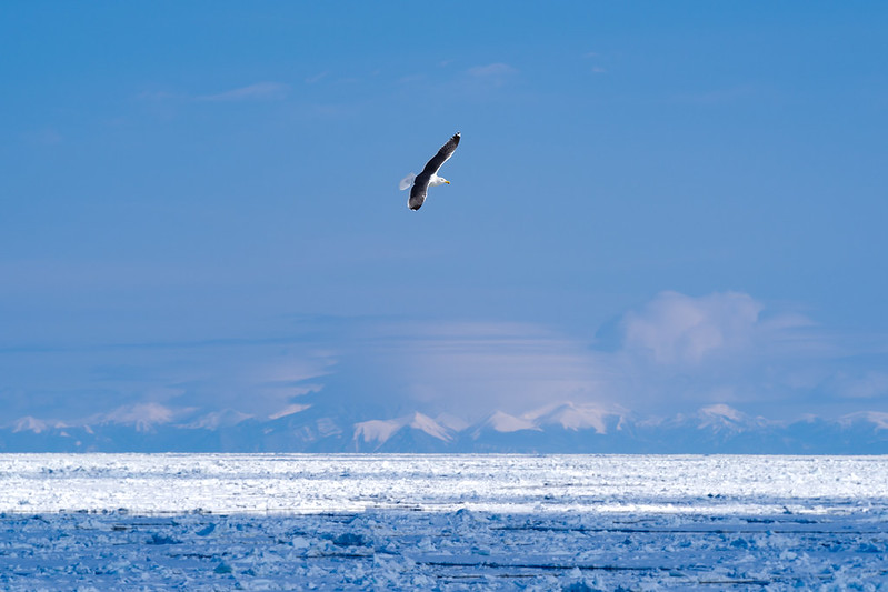 流氷と知床連山とカモメ